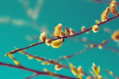 Branches of willow. Over the sky. Nature background royalty free stock photo