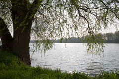 Branches of willow rree hanging over water Royalty Free Stock Image