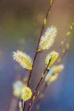 Branches of a willow Royalty Free Stock Photos