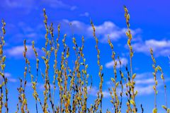 Branches of a willow with swollen buds against the background of a lush blue sky and clouds in the rays of the sun. Bottom view royalty free stock photography