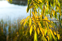 Branches of willow tree above river. And sunlight shining through Branches stock image