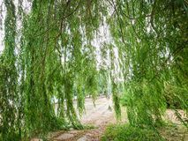 The branches of the willow tree go down to the ground. Green foliage on the tree. City park.  royalty free stock images