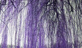 Branches willow tree. Tree weeping willow in forest, nature and environment Royalty Free Stock Photography