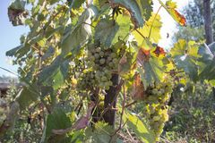 Branches of wine grapes growing in Georgian fields. Close up view of fresh wine grape in Georgia. Vineyard view with big grape gr stock image
