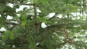 Branches of a Winter Fir-Tree Under Snow. Shooting With a Panorama stock video footage