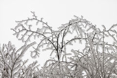 Branches in winter Royalty Free Stock Image
