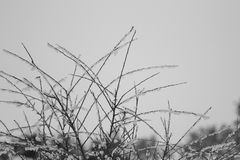 Branches. In the winter with snow on them Stock Photo