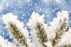 Branches of a winter spruce tree Royalty Free Stock Photo