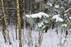 Branches of winter spruce tree Stock Photos