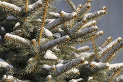 Branches of a winter spruce tree in the morning Stock Photography