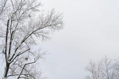 Winter tree with snow Royalty Free Stock Photos