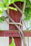Branches of wisteria Stock Image
