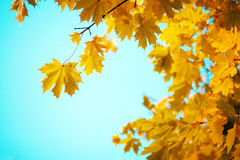 Branches of yellow autumn leaves Royalty Free Stock Photography