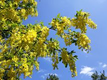 Branches with yellow flowers of Laburnum Anagyroides tree Golden Chain or Golden Rain against blue sky. Laburnum anagyroides, is a species in the subfamily stock images