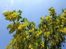 Branches with yellow flowers of Laburnum Anagyroides tree Golden Chain or Golden Rain against blue sky. Laburnum anagyroides, is a species in the subfamily royalty free stock image