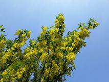 Branches with yellow flowers of Laburnum Anagyroides tree Golden Chain or Golden Rain against blue sky. Laburnum anagyroides, is a species in the subfamily stock photo