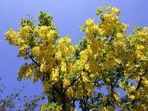 Branches with yellow flowers of Laburnum Anagyroides tree Golden Chain or Golden Rain against blue sky. Laburnum anagyroides, is a species in the subfamily royalty free stock photos
