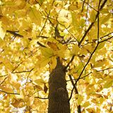 Branches of yellow foliage. Close-up of American Beech tree branches covered with bright yellow Fall leaves Stock Photography