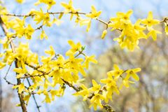 Branches with yellow forsythia flowers stock image
