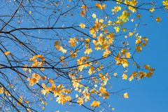 Branches with yellow leaves against the blue sky stock photo