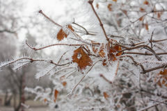Branches and yellow leaves covered with frost Royalty Free Stock Photos