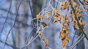 Branches and yellow leaves covered with frost. Nature.  stock video
