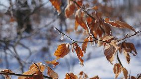 Branches and yellow leaves covered with frost. Nature.  stock video footage