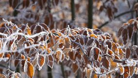 Branches and yellow leaves covered with frost. Nature stock video footage