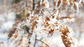 Branches and yellow leaves covered with frost. Nature.  stock footage