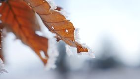 Branches and yellow leaves covered with frost. Nature stock footage