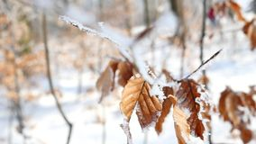 Branches and yellow leaves covered with frost. Nature stock video