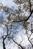 Yellow leaves and dry branches of trees on the background of the sky royalty free stock images