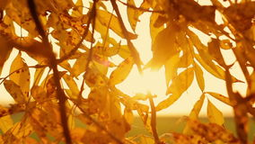 The branches of yellow leaves at sunset stock footage