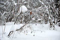 Branches with yellow leaves under snow winter. Stock Image