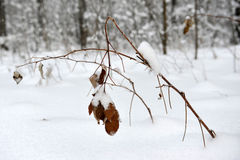 Branches with yellow leaves under snow winter. Stock Photos