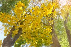 Yellowed maple trees. Branches of yellowed maple trees in fall season royalty free stock images