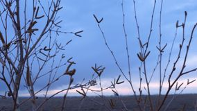 Branches of a young birch tree buds spring evening night nature landscape stock footage