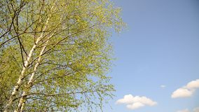 Branches of the young birch trees swaying in  wind stock video footage