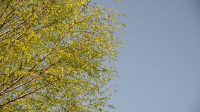 Branches of the young birch trees swaying in  wind. Branches of the young birch trees swaying in the wind stock video footage