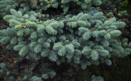 Branches of young blue spruce close-up Stock Image