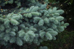 Branches of young blue spruce close-up, against a background of green shrubs Stock Image