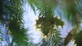 Branches with young cones and green needles of abies growing in forest stock video