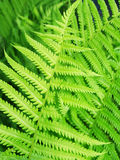 The branches of the young fern. Close-up stock photography