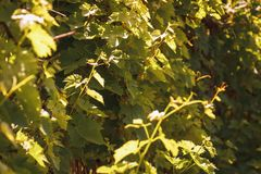 Branches of young grapevine with green leaves in vineyard in golden morning sun light. royalty free stock images