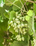 The branches of young green grapes with leaves stock photos