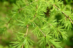 Branches with young green needles of a larch European (Larix dec Royalty Free Stock Photo