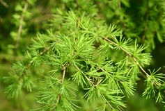 Branches with young green needles of a larch European (Larix dec Royalty Free Stock Photography