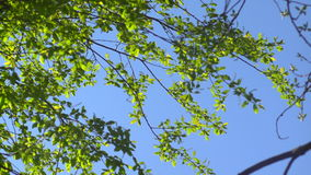 Branches with young leaves against the blue sky stock video