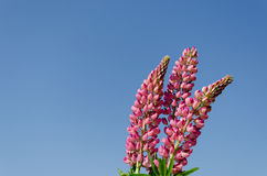 Branches of young lupine on blue sky backround Stock Photos