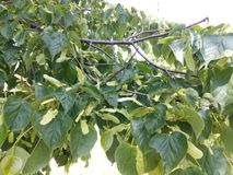 Branches with young spring linden leaves and fruits close-up Stock Images
